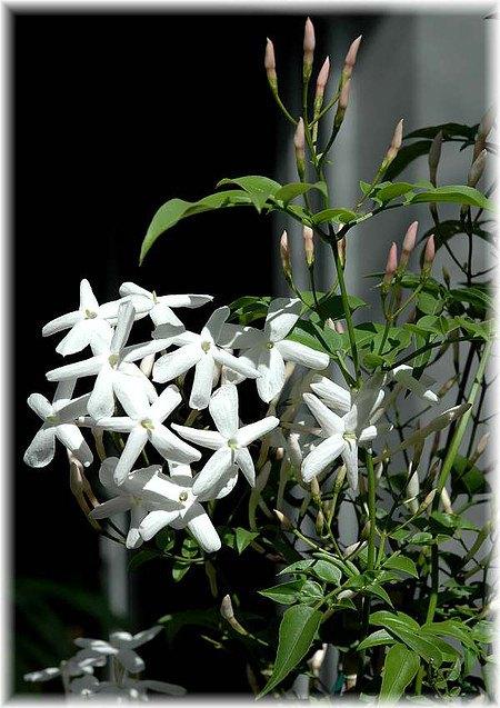 Duftjasmin Jasminum polyanthum