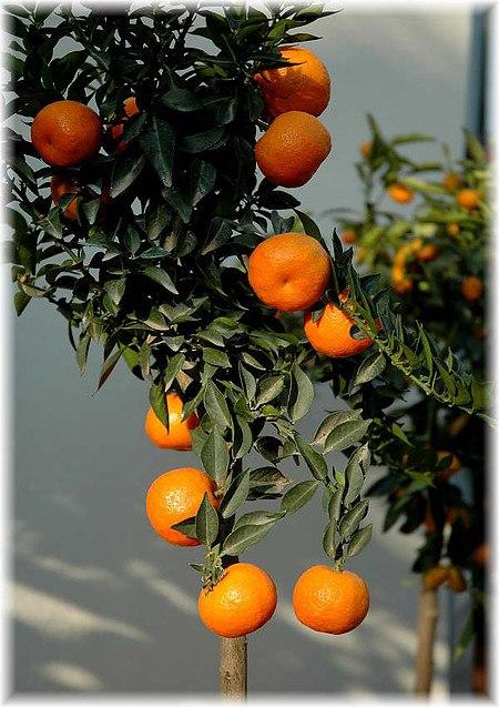 Duftorange, Chinotto Citrus myrtifolia