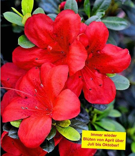 """Durchblühende Azalee """"Bloom Champion"""" rot, 1 Pflanze"""
