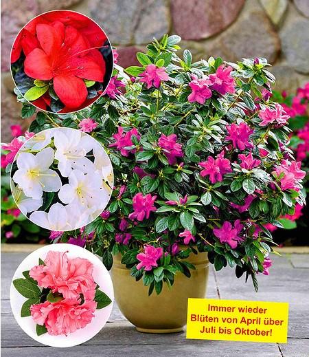 """Durchblühende Azaleen """"Bloom Champion"""" 3 Farben; 3 Pflanzen"""