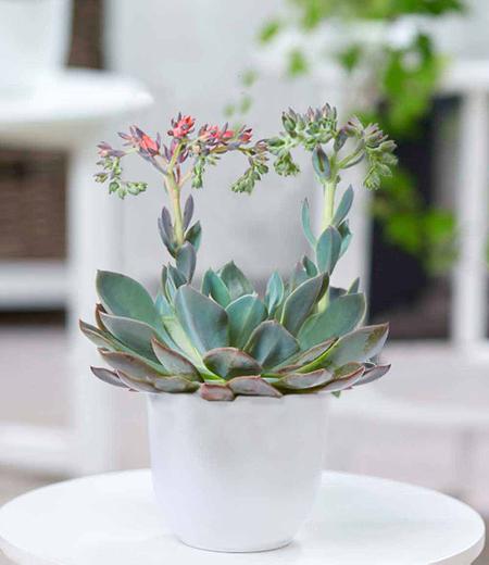 Echeveria Cheyenne,1Pflanze