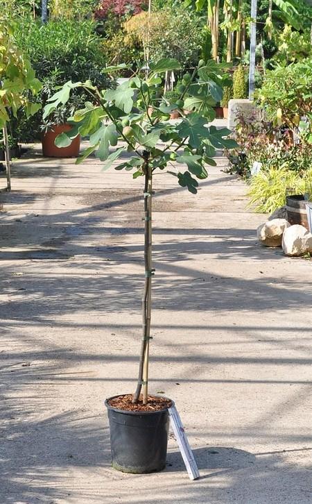 Echte Feige (Brown Turkey) Stamm - Ficus carica Brown Turkey