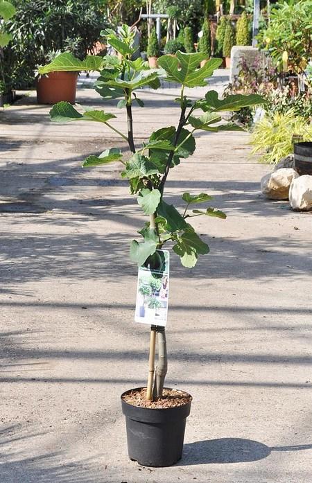 Echte Feige (Brown Turkey) Stamm- Ficus carica Brown Turkey