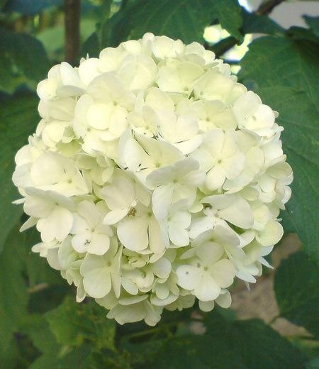 Echter Gefüllter Schneeball,1 Pflanze