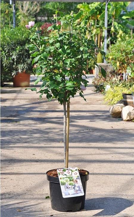 Echter Roseneibisch (Hamabo) Stamm - Hibiscus syriacus Hamabo