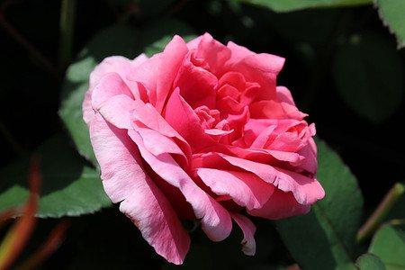 Edelrose, ADR-Rose Elbflorenz (im grossen Container)