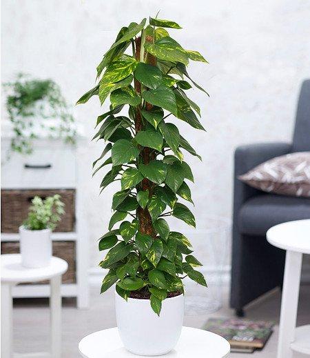 Efeutute am Moosstab ca 100 cm hoch,1 Pflanze
