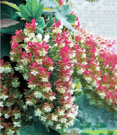 """Eichblatt-Hortensie""""Snowflake"""",1 Pflanze"""