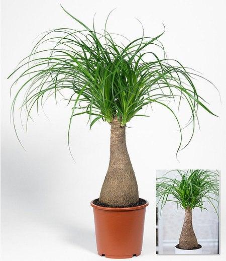 Elefantenfu im 17 cm topf 1 pflanze g nstig online kaufen - Lavendel zimmerpflanze ...