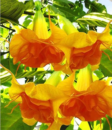 "Engelstrompete ""Sunexplosion"",1 Pflanze Brugmansia Datura"
