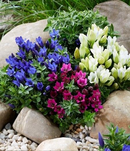 Enzian-Mix,3 Pflanzen