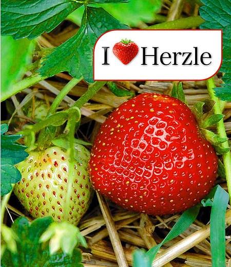 """Erdbeere Hummi® """"Herzle"""",6 Pflanzen"""