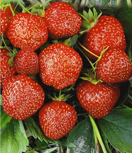 "Erdbeere Hummi´s® ""Sengana® Selektion"",6 Pflanzen"