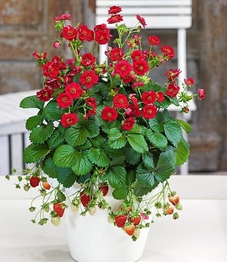 """Erdbeere """"Summer Breeze Rose"""", 3 Pflanzen"""