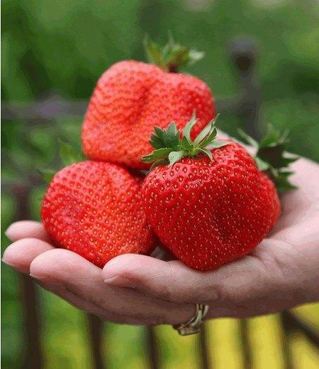 "Erdbeere ""Sweet Mary XXL®"",3 Pflanzen"
