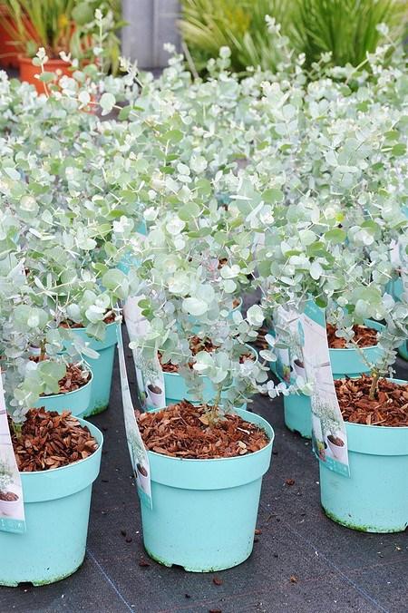 Eucalyptus (Blaugummibaum) Azura - Eucalyptus gunnii Azura
