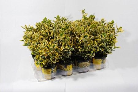 Euonymus japonica 'Mareike' -Japanischer Spindelstrauch