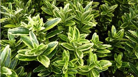 Euonymus japonica 'MicrophyllaGold' - Japanischer Spindelstrauch
