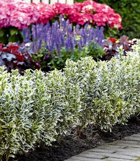 "Euonymus ""White Spire®"",1 Pflanze"