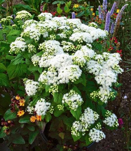 """Eupatorium """"Lucky Melody®"""",2 Pflanzen"""