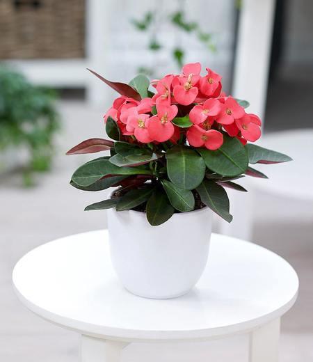 Euphorbia milii,1 Pflanze