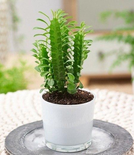 "Euphorbia ""Trigona"",1 Pflanze"