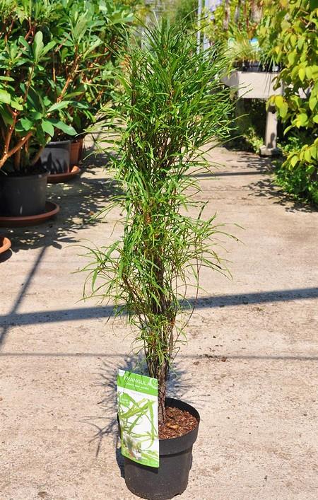 Farnblättrige Faulbaum Fine Line ® - Rhamnus frangula
