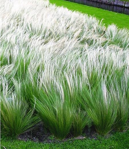 Federgras (Stipa),3 Pflanzen
