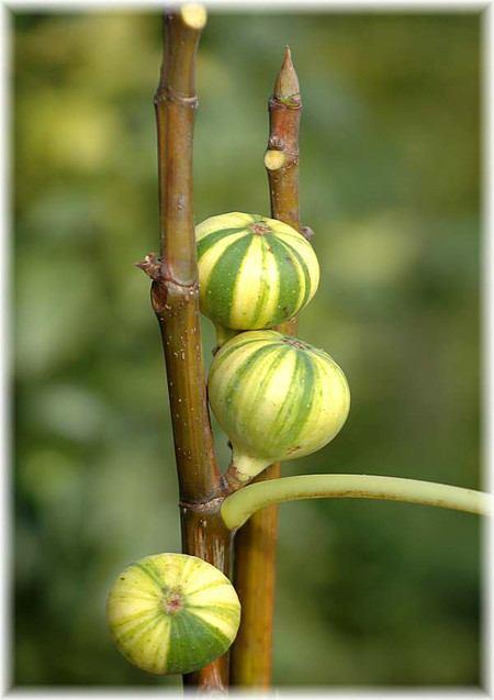 Feige Ficus carica ´Variegata` (gestreifte Früchte)