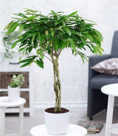 Ficus Amstel King mit geflochtenem Stamm,1 Pflanze