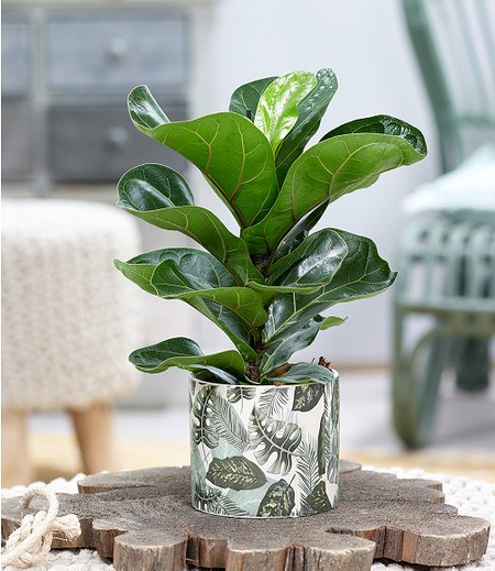 """Ficus """"Bambina"""" inkl Amazonas Keramik-Übertopf,1 Set"""
