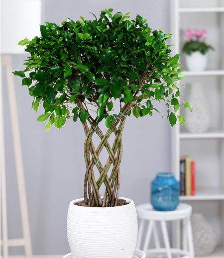 """Ficus nitida """"GeflochtenerStamm"""" ca 70 cm hoch,1 Pflanze"""