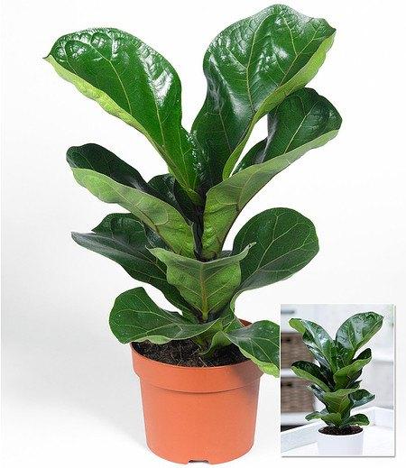"""Fikus """"Bambina"""",1 Pflanze"""