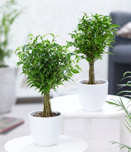 Fikus Stämmchen Duo,2 Pflanzen