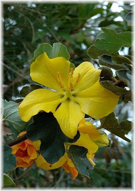 Flanellstrauch Fremontodendron californicum