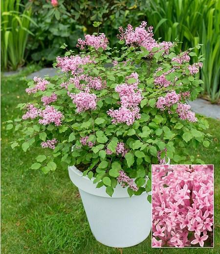 """Flieder """"Flowerfest Pink®"""",1 Pflanze"""