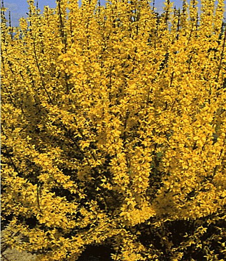 Forsythie,1 Pflanze