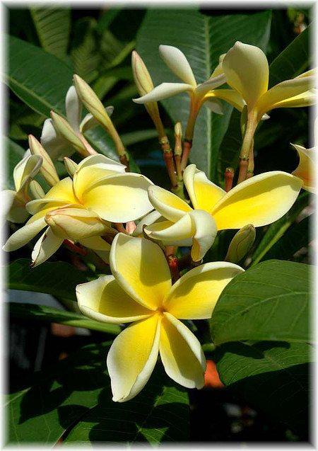 Frangipani Plumeria rubra