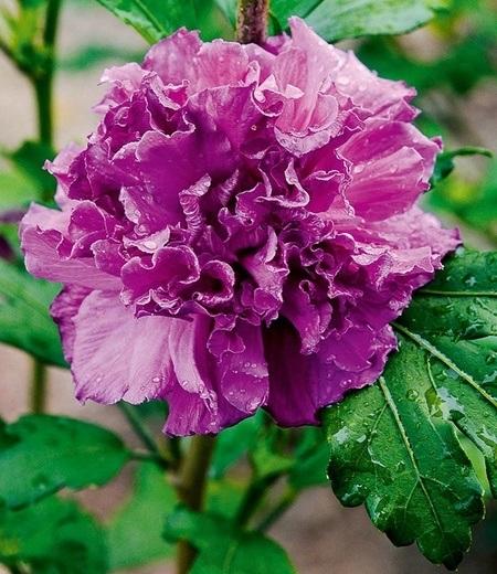 "Freiland-Hibiskus ""French Cabaret"" Purple,1 Pflanze"