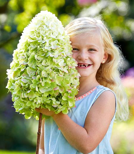 """Freiland-Hortensie """"Herkules®"""",1 Pflanze"""