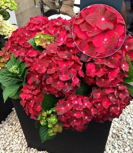 "Freiland-Hortensie ""Ruby Tuesday®"" 12 cm Topf,1 Pflanze"