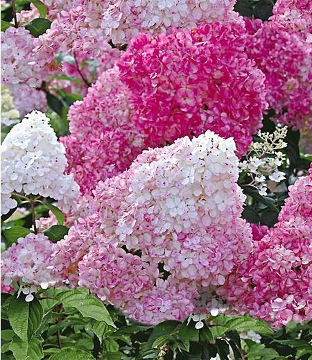 """Freiland-Hortensie """"Vanille Fraise®"""" im 2-Liter Topf, 1 Pflanze"""