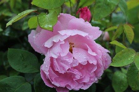 frisch getopftes, kräftiges Stämmchen Englische Rose, Englische Beetro