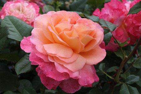 frisch getopftes, kräftiges Stämmchen Rose Augusta Luise® (im grossen
