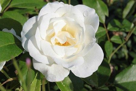 frisch getopftes, kräftiges Stämmchen Rose Schneewittchen® (im grossen