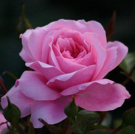 frisch getopftes, kräftiges Stämmchen Rose The Queen Elizabeth Rose®
