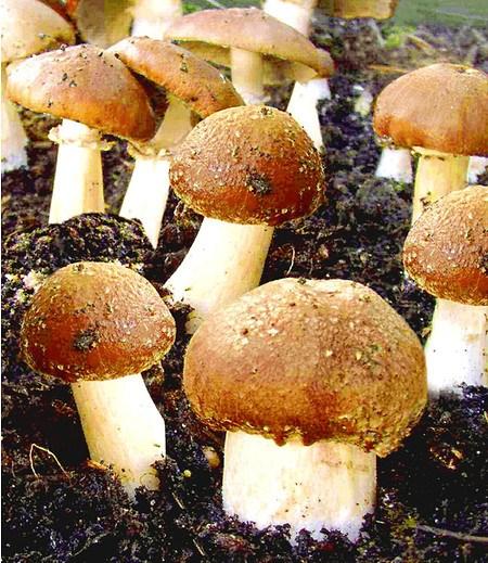 Garten-Pilze Braunkappen Set,1 Komplett-Set