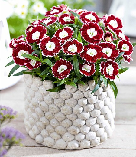 """Gartennelke """"Beauties OliviaSweet®"""",2 Pflanzen"""