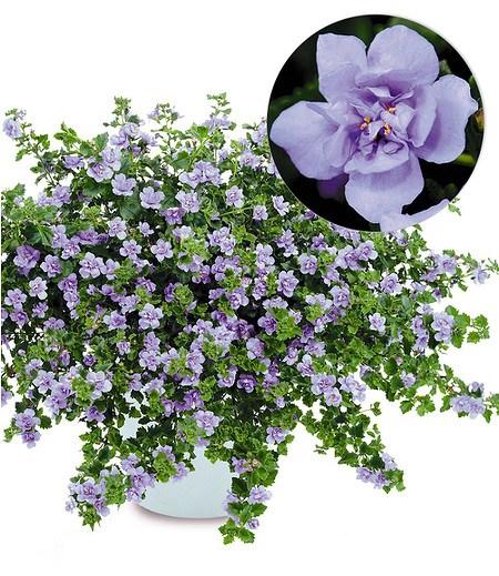 """Gefüllte blaue Bacopa """"ScopiaDouble®"""" 3 Pflanzen Schneeflockenblume"""