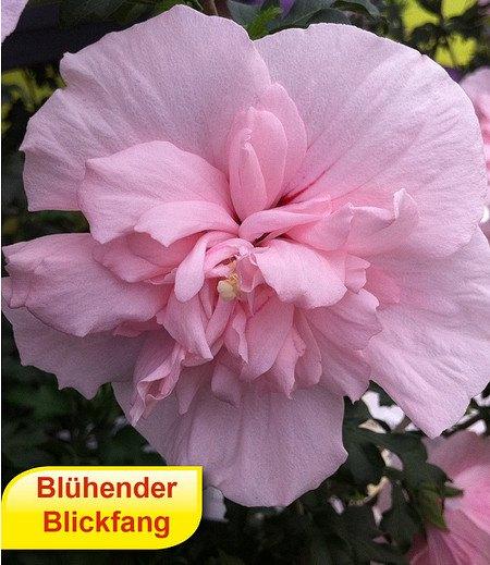 """Gefüllter Hibiskus """"Chiffon®"""" pink,1 Pflanze"""
